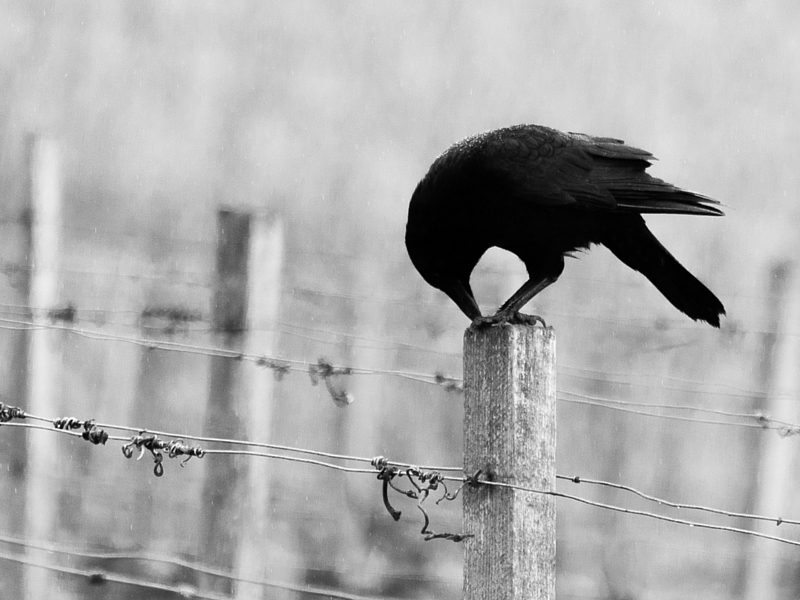 A raven on a fence post.